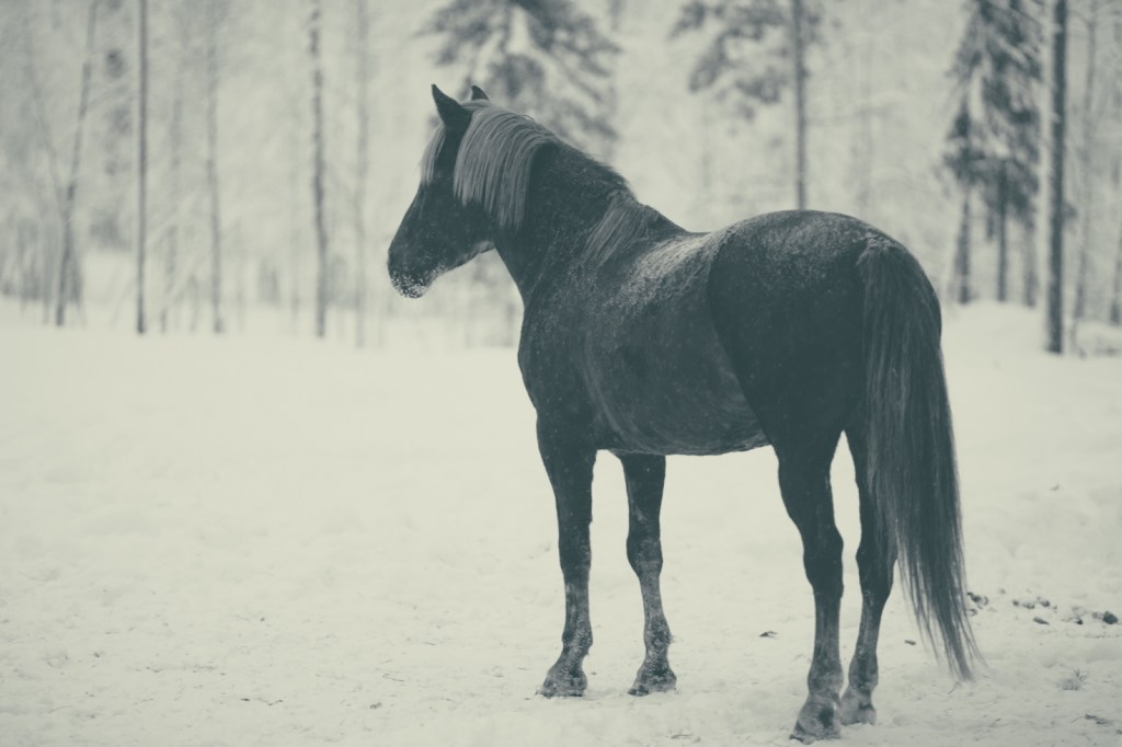 The place we stayed in Lapland is a horse farm, they have like 80 horses in the forests around.